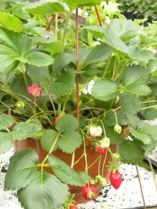maasikas2